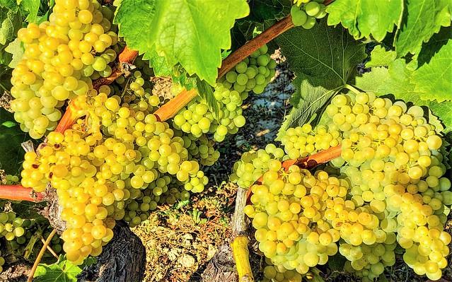 Uvas en Laguardia.  Rioja Alavesa.