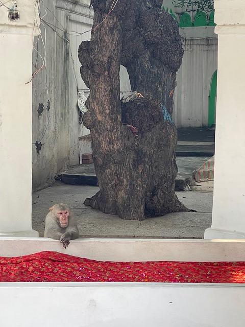 Mission Delhi - Unnamed Monkey, Hazrat Chirag Dehlavi's Sufi ShrineIMG_9072