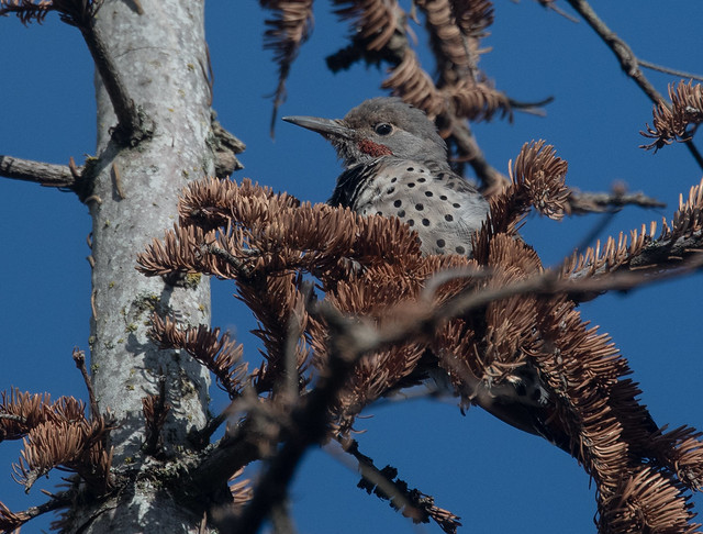 Northern Flicker (Colaptes auratus). Red-shafted