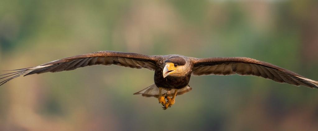 Hawk Carcara