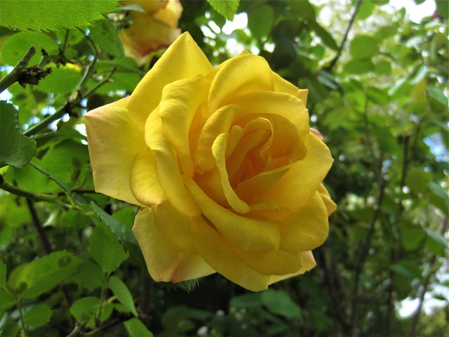 The First Rose of Spring