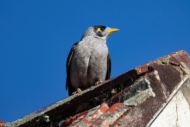 Dusk Noisy Miner on intruder watch from roof apex vantage point - uncropped