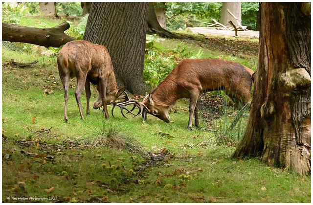 Stags sizing each other up.