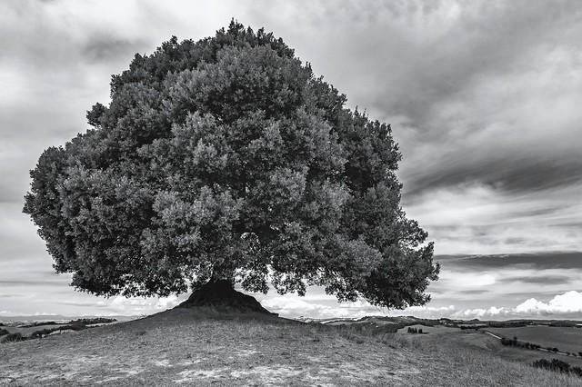*La quercia delle Crete Senesi*