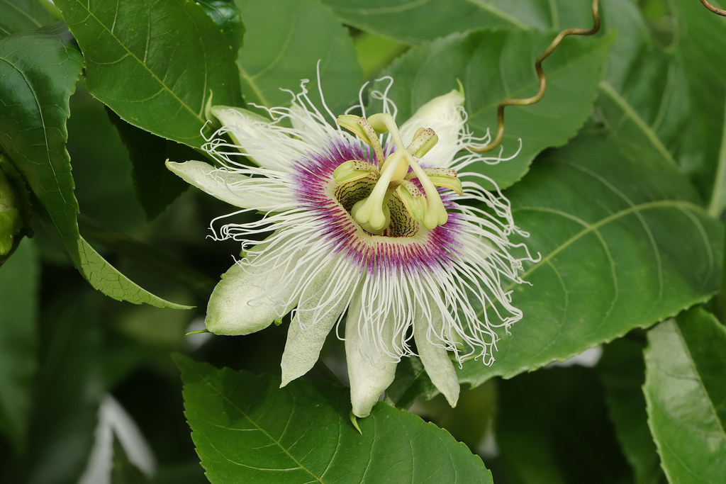Passiflora edulis Sims  パッションフルーツ