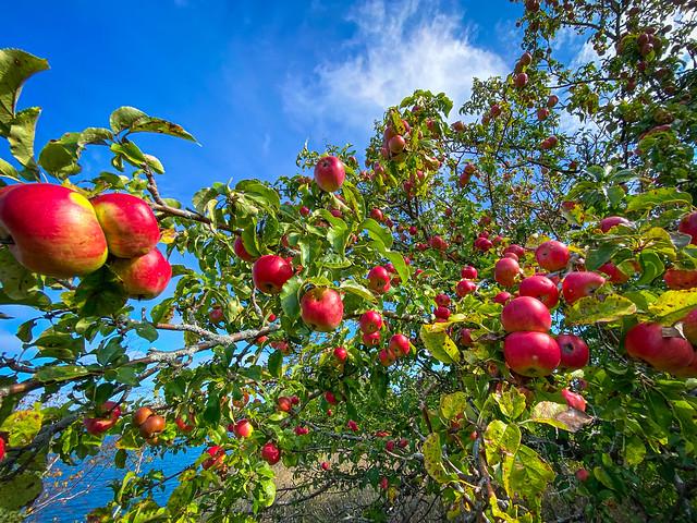 Wilding Apple Tree   Prince Edward County