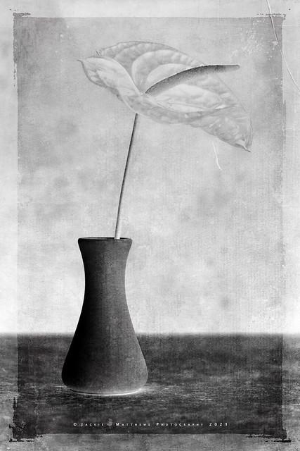 White Wednesday - anthurium …