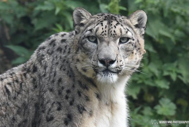 Snowleopard - Belgium