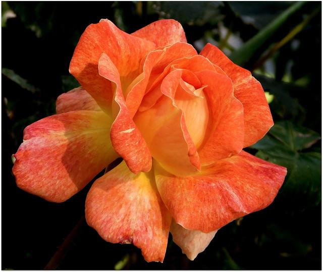 Róża  * EXPLORE (08.10.2021)