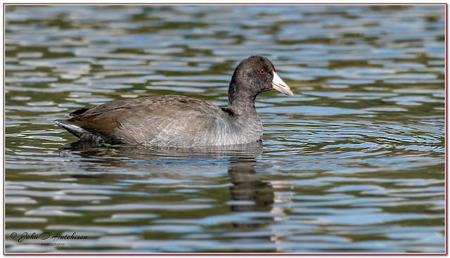 American Coot ( Adult )