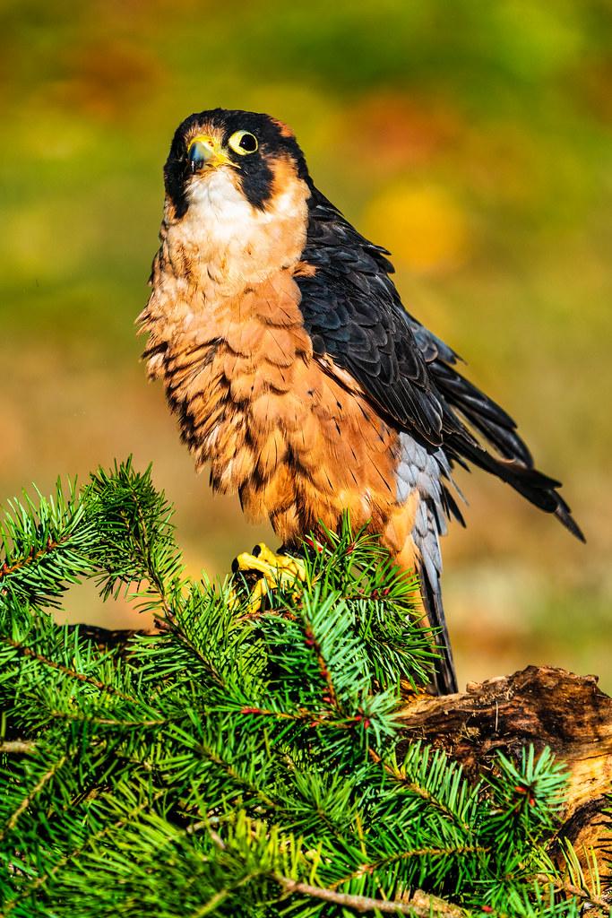 Taita Falcon finishing rouse
