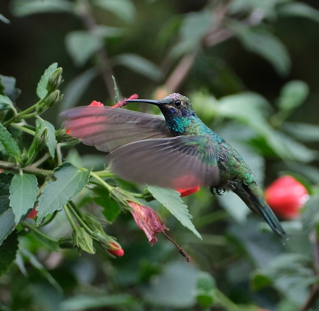 Lesser violetear. Colibrí Cyanotus (Juvenile)