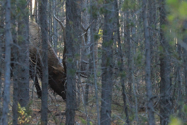 I Spy With My Little Eye Something With Sharp Points-Bull Elk