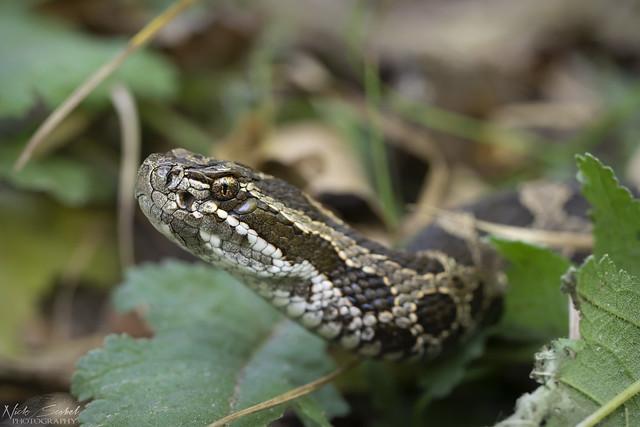 Eastern Massasauga Rattlesnake