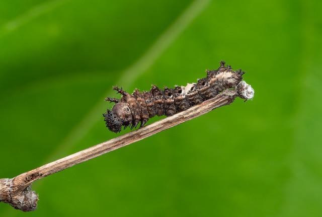 Viceroy butterfly Caterpillar