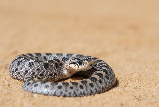 Hatchling Southern Hognose Snake