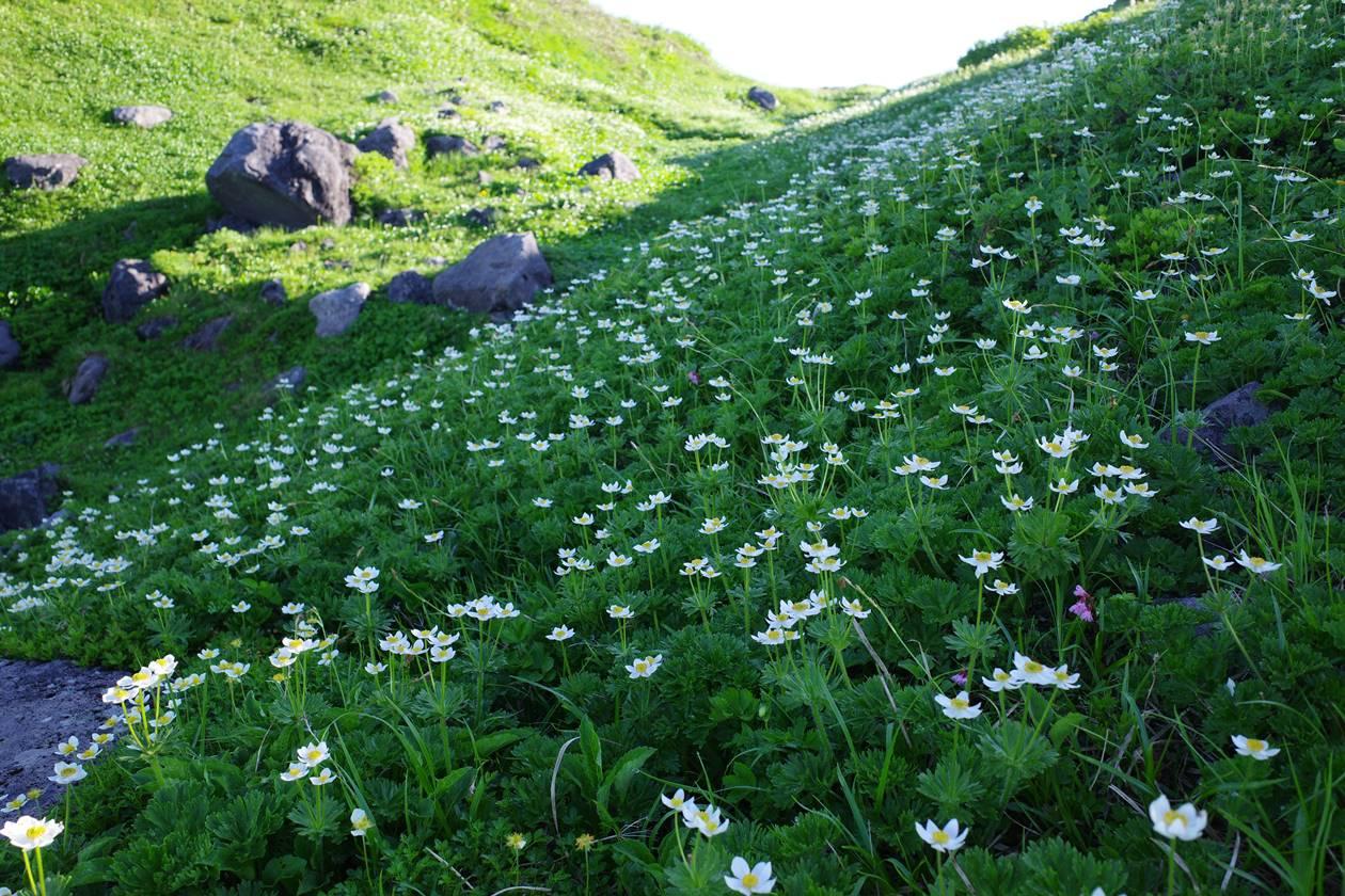 鳥海山のお花畑