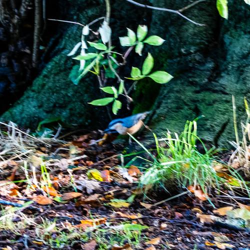 Tiny nuthatch, Bantock Park