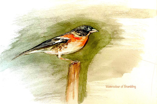 Last stage of watercolour of Brambling by jmsw on stretched paper.