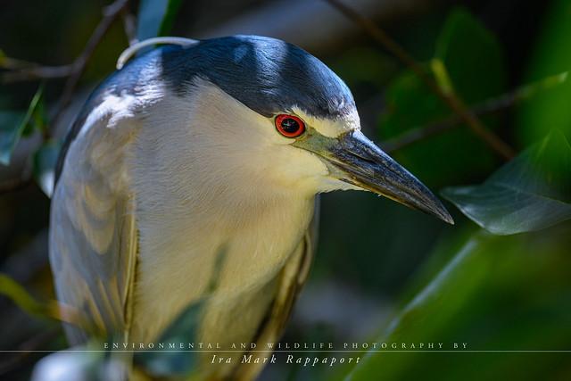 Black-crown Night Heron