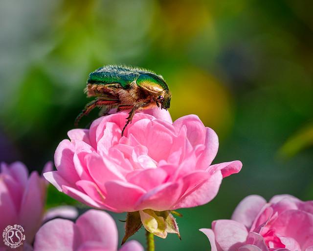 Rose beetle - reloaded