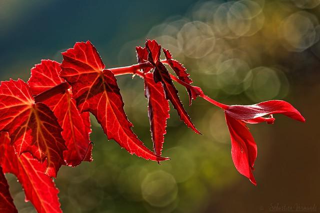 Begonia leaves in the light - Feuilles de Bégonia dans la lumière