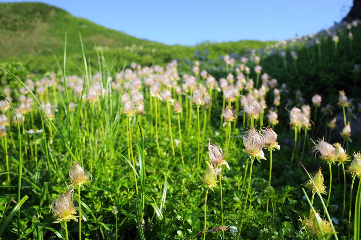 鳥海山・チングルマの穂の群生
