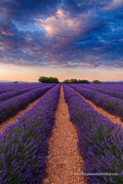 morning light on Lavender field