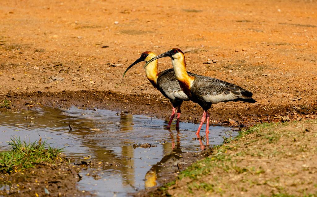 Curicaca - Pantanal