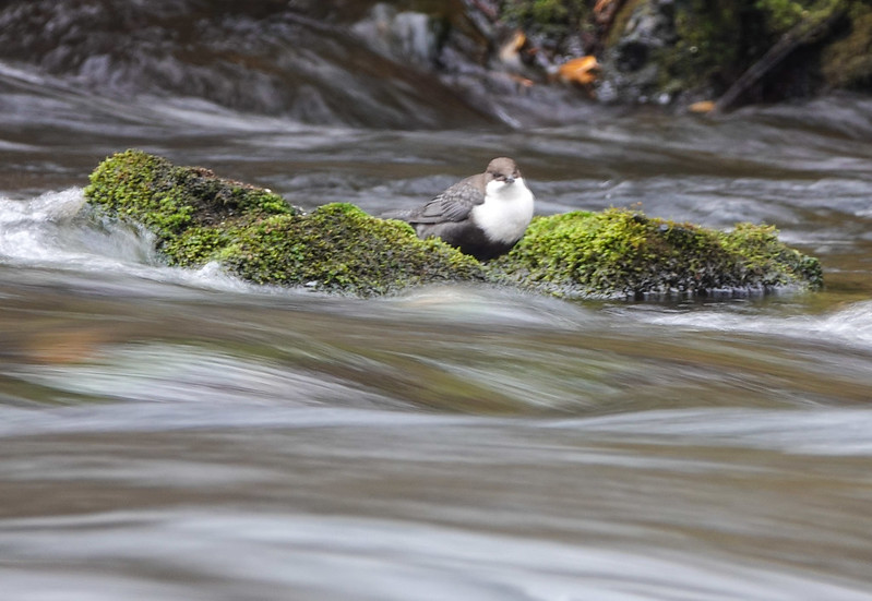 Bird between dives to river