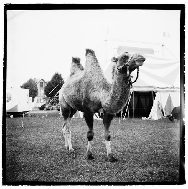Abdoul le chameau