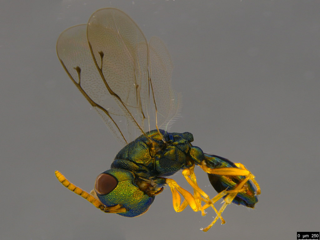 9a - Pteromalidae sp.