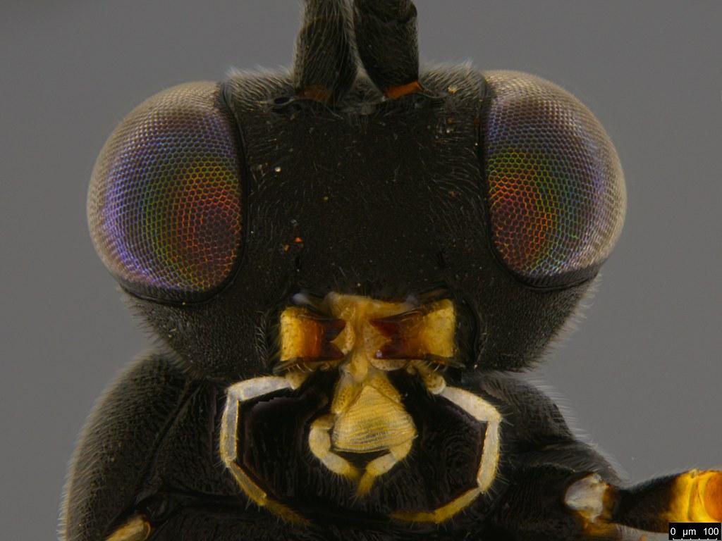 14e - Ichneumonidae sp.