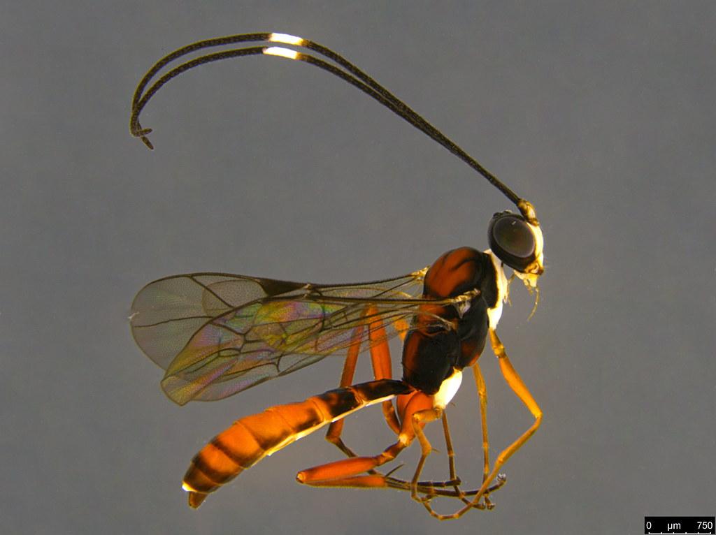 17a - Ichneumonidae sp.