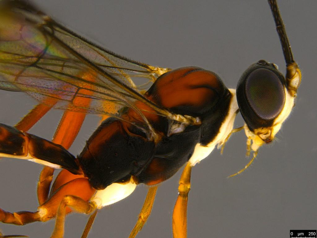 17b - Ichneumonidae sp.