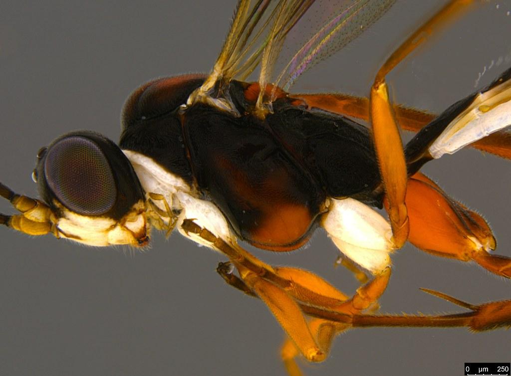 18b - Ichneumonidae sp.