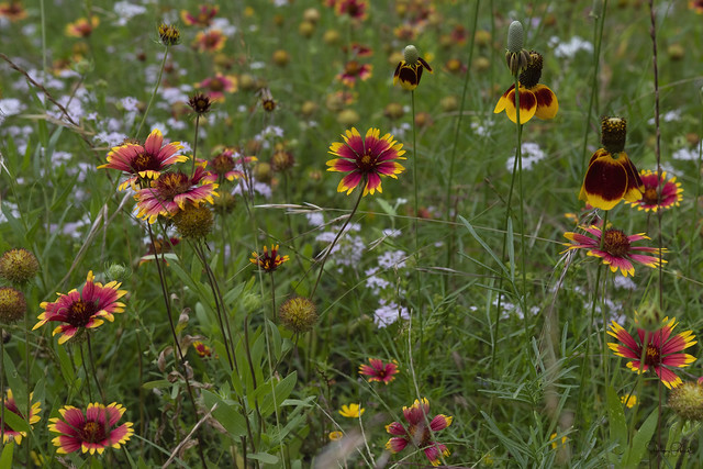 Indian Blanket and Mexican Hat