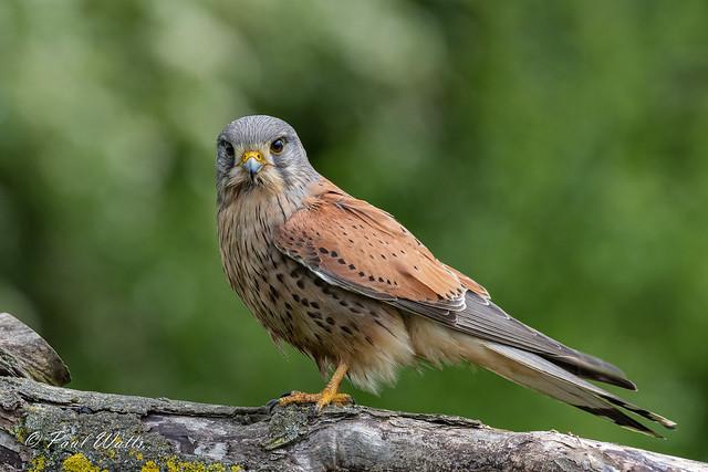(Common) Kestrel (m) (Falco tinnunculus)