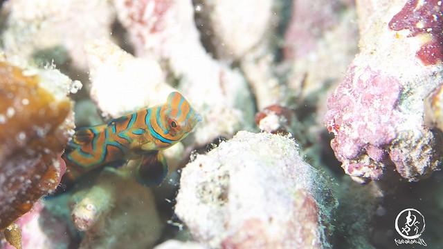 ニシキテグリ幼魚ちゃん♪