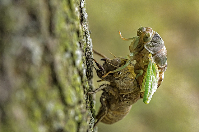 Cicada emerging last August