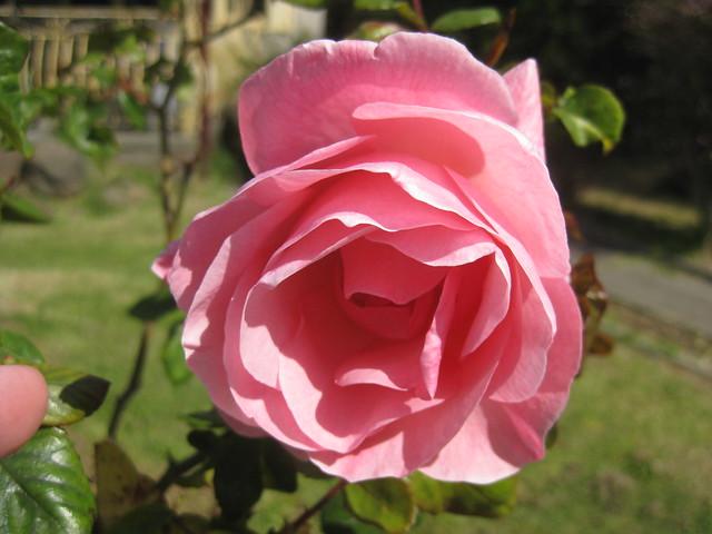 A Pink Rose Bloom - Thornbury