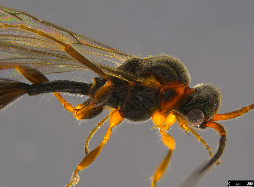 8b -Belytinae sp.