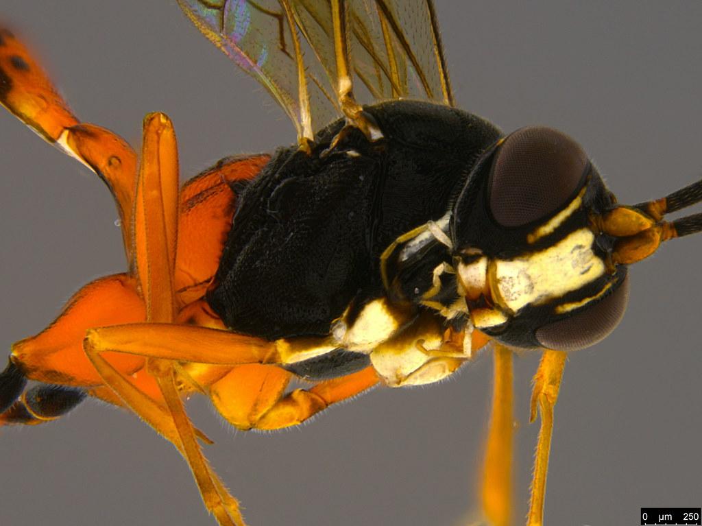 15b - Ichneumonidae sp.
