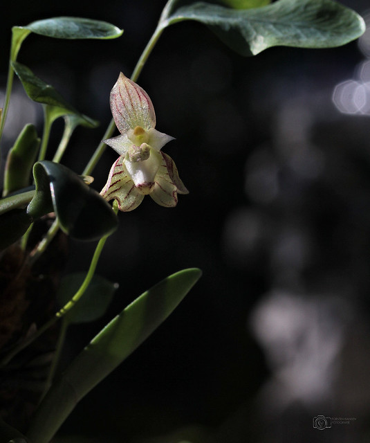 Bulbophyllum ambrosia 1