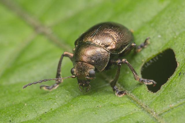 _Z2A2878 leaf beetle