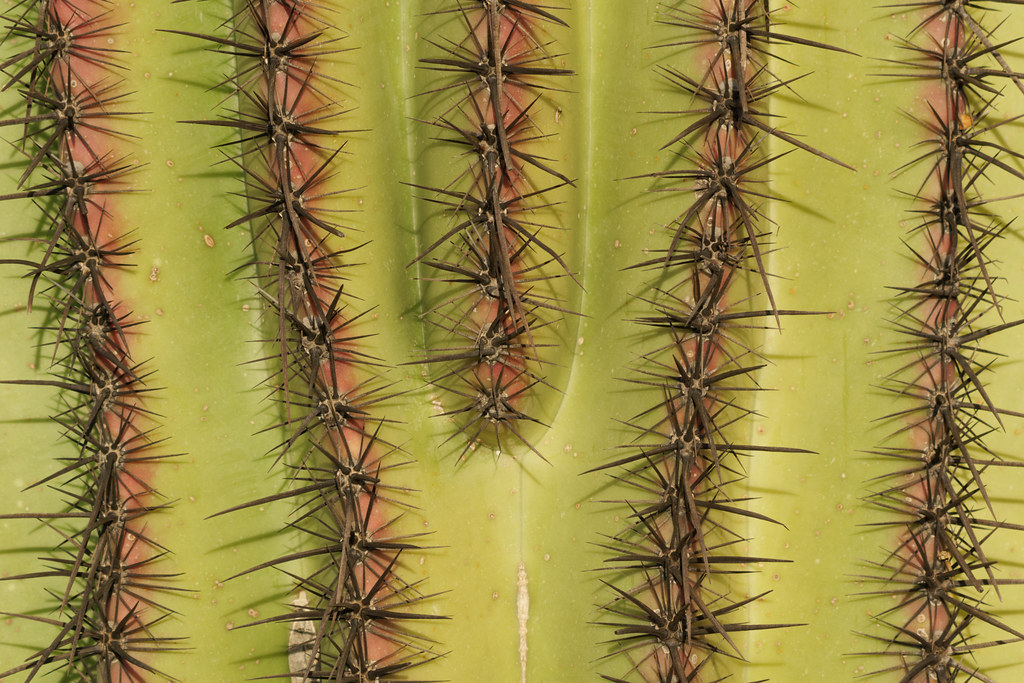 The skin of a saguaro is red around its areoles in Scottsdale, Arizona on March 21, 2021. Original: _RAC5269.arw