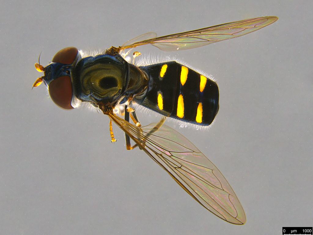 4 - Melangyna viridiceps (Macquart, 1847)