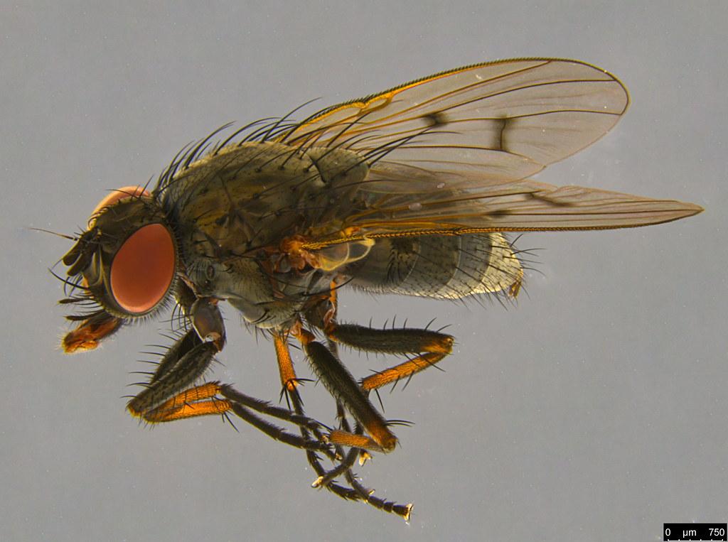 7 - Diptera sp.