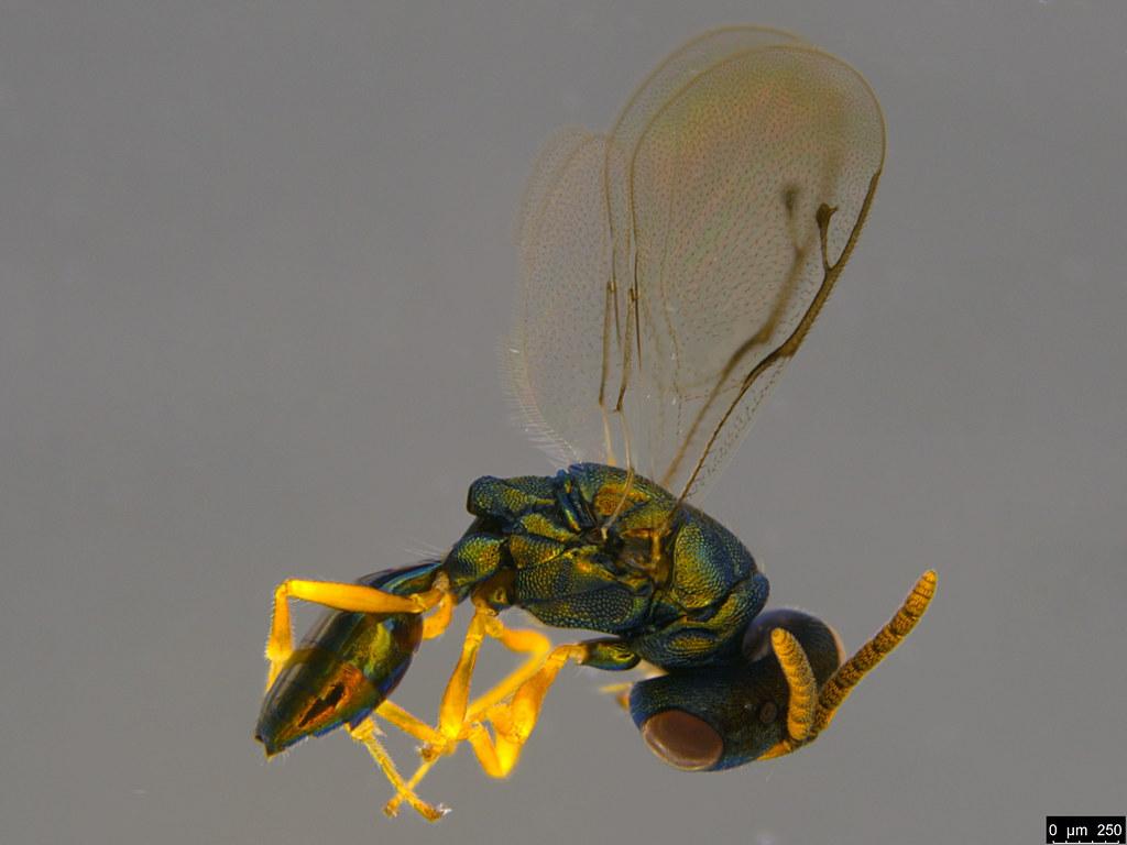 9b - Pteromalidae sp.