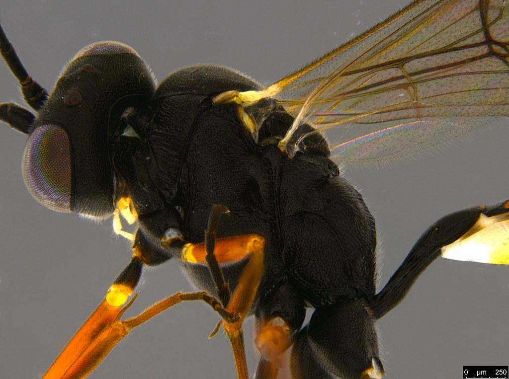 14c - Ichneumonidae sp.